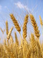 Gшеница