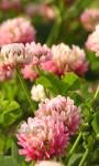 Клевер бело-розовый