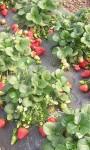 Клубника урожай