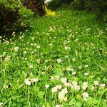 Газонная трава ДЕКОРАТИВНАЯ с белым клевером.