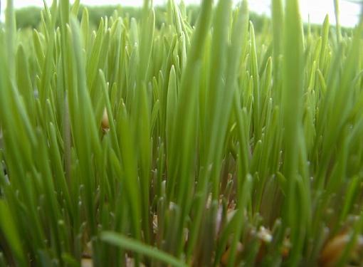 Сидераты -как зеленые удобрения
